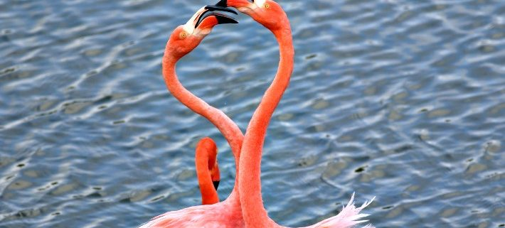 Greater Flamingo courting ritual, Galapagos islands