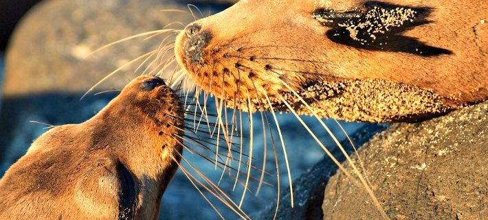Galapagos sea lion with pup