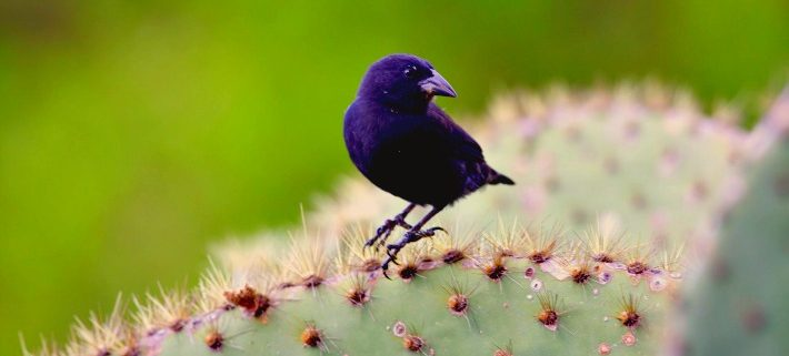 One of Darwin's Finches the Cactus Finch, Galapagos islands