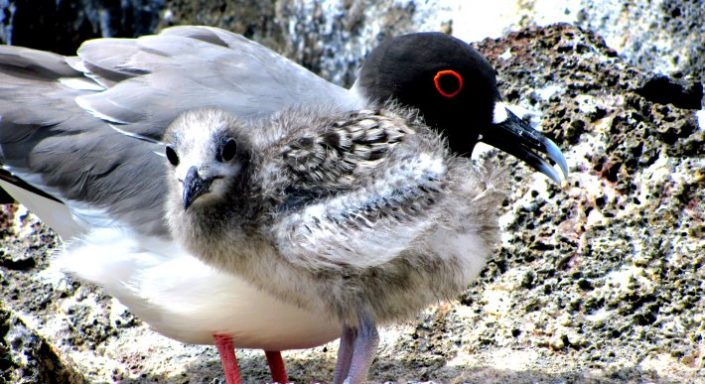 Swallow-tailed gull with chick, Genovesa Island, Galapagos Islands