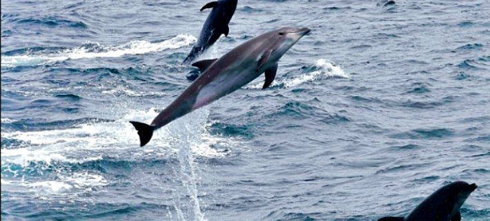 Common Bottlenose Dolphin (Tursiops truncatus) – Galapagos