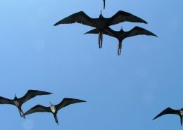 Frigate Birds, Galapagos Islands