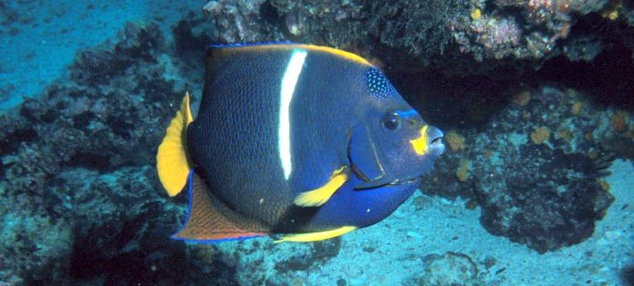 King Angelfish, Galápagos Islands