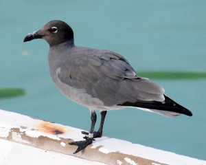 Galapagos Islands, cruises, seabirds, sea birds, gull, tern, petrel, migrants