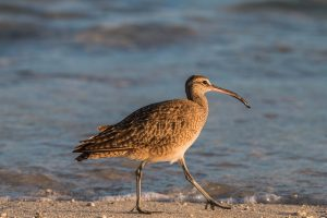 Galapagos Islands, shorebirds, waterfowl, lagoons, heron, duck, flamingo, American oystercatcher, gallinule, stilt, plover, sandpiper, phalarope, migrants